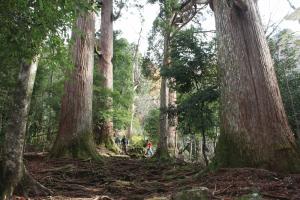 樹齢1,000年の市房杉